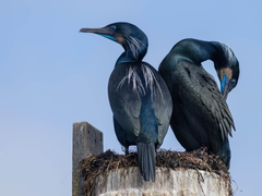 Brandt s Cormorants Camping Out At Their Nest In Elkhorn
