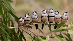 Barred Finches Bing Wallpapers