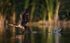 Cormorant Bird Taking Off From Lake Water Desktop Wallpapers