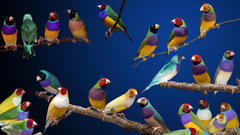 gouldian finches HD Wallpapers