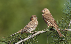 Best 53 House Finch Wallpapers on HipWallpapers