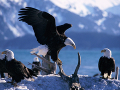 Animals Pretty Animals Wings Extended Bald Eagles Desktop Image