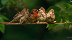 finch Bird Finches 8 Wallpapers HD Desktop and Mobile