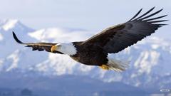 Eagle Desktop Wallpaper Youwall Flying Eagle Wallpapers