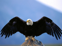 Eagle Desktop Wallpaper Eagle Wallpapers Hd