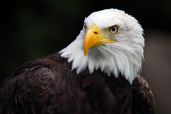 Wallpapers For 3d Wallpapers Hd Eagle