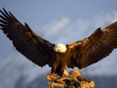 Desktop hd eagles wallpapers