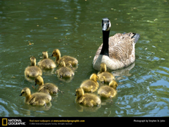 Canada Geese Picture Canada Geese Desktop Wallpaper