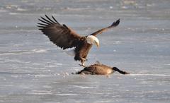 Eagle predator bird geese goose f wallpapers