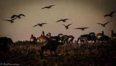 Desktop Backgrounds Goose Hunting Wallpapers Goose Hunting