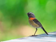 Collared Bush Robin