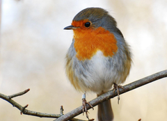 Image of Robin for Your Project on Animal Picture Society
