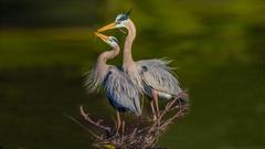 Blue Herons 4k Ultra HD Wallpapers