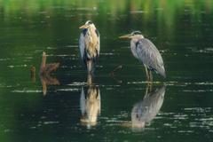 animals Nature Herons Birds Water Wallpapers HD
