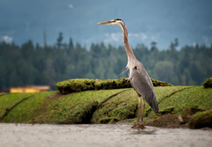 Wallpapers bird herons Animals