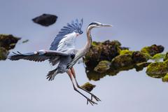 Photo Birds herons Wings Great Blue Heron Water animal