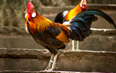 Rooster Wallpaper Backgrounds