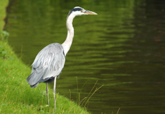 herons birds animals wallpapers and backgrounds