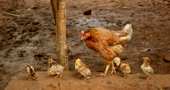 Hen with Baby Chicks Bird HD Wallpapers