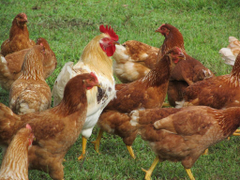 pictures of roosters and chickens