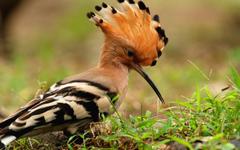 Animals Birds Macro Hoopoe Wallpapers