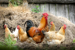 Animal Rooster Birds Galliformes Hen HD Wallpapers