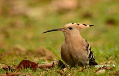 Wallpapers background bird hoopoe image for desktop