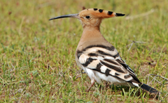 Eurasian Hoopoe photos and wallpapers Collection of the