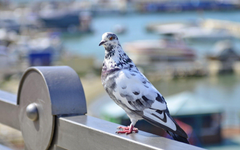 Pigeon HD Wallpapers