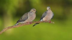 Pigeon HD Wallpapers