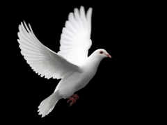 White Dove Wallpapers Animal