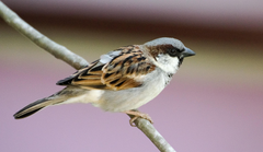 stock photo of house sparrow nature