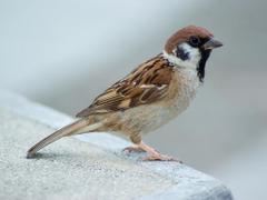 Sparrow Image Sparrow Eurasian Tree Wallpaper