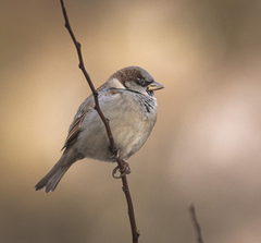 Closeup photo of House Sparrow HD wallpapers