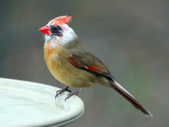 Leucistic Female Northern Cardinal