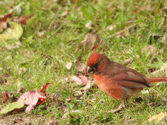 JUVENILE NORTHERN CARDINAL MOLTING TO ADULT COLONEL