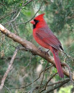 Birding Buddies Northern Cardinal