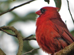 Geotripper s California Birds A Northern Cardinal in Hawai i The