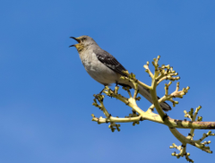 Grey and black bird on brown tree branch mockingbird HD wallpapers