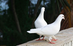 Pigeons Wallpapers HD Pictures One HD Wallpapers Pictures