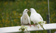 Pigeons Wallpapers High Quality