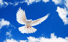 The Absolute Peace Symbol Pigeon Wallpapers