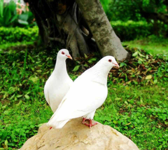 Pigeons Full HD Wallpapers