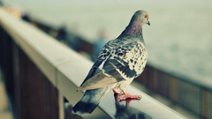 Beautiful White Pigeons Wallpapers HD