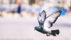 Pigeon Flying Wonderful Wallpapers