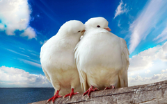 White pigeons couple wallpapers