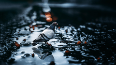 Pigeon In A Puddle 4K UltraHD Wallpapers