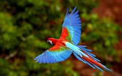 Flying Macaw