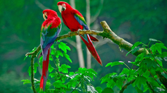 Red Parrot HD Wallpapers