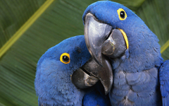 Blue Macaws HD Wallpapers
